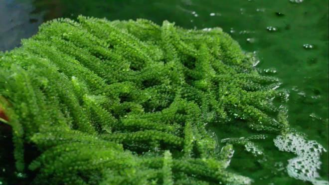 Rong Nho Biển Tươi Bao Nhiêu 1 Kg – Bán Ở Đâu Tại Tphcm